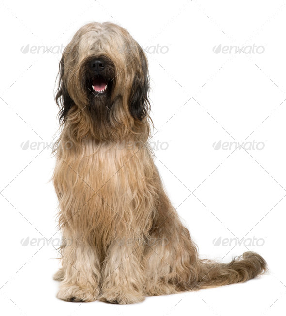 Briard dog, 14 months old, sitting in front of white background - Stock Photo - Images
