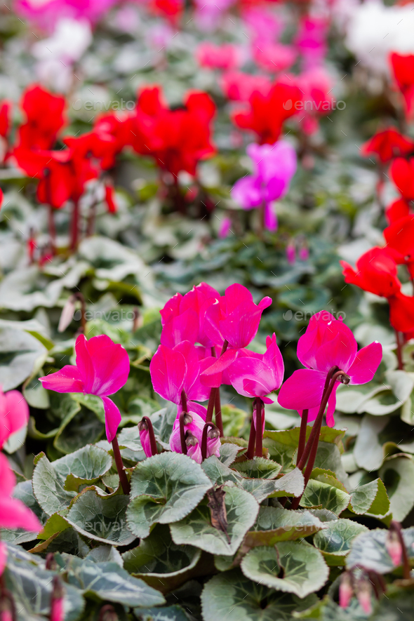 Pink cyclamen in a flower pot on blurred background. - Stock Photo - Images