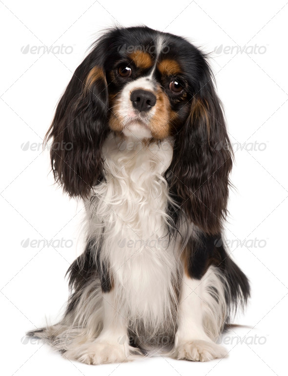 Cavalier King Charles dog, 14 months old, sitting in front of white background - Stock Photo - Images