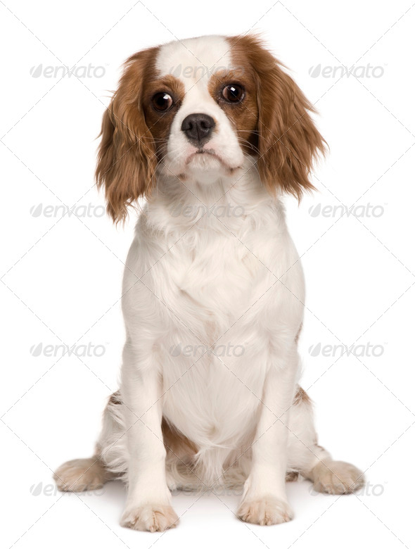 Cavalier King Charles dog, 6 months old, sitting in front of white background - Stock Photo - Images