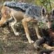 jackal - PhotoDune Item for Sale