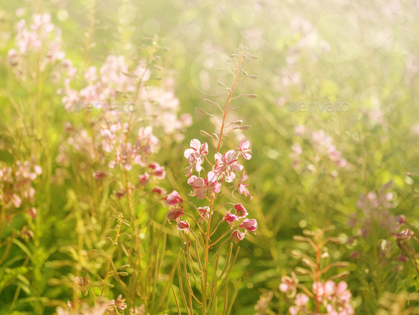 Flowers of fireweed in the soft sunlight of the early morning, image with bokeh and filters - Stock Photo - Images