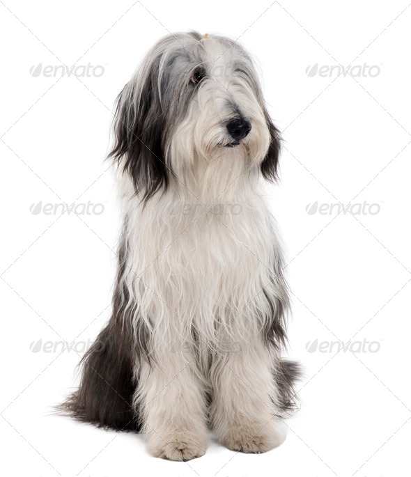 Bearded Collie, 11 months old, sitting in front of white background - Stock Photo - Images