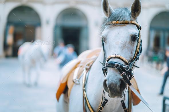Portrait of the world famous Lipizzaner Stallion legendary White Stallions horse before show - Stock Photo - Images