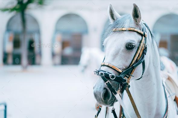 Portrait of the world famous Lipizzaner Stallion legendary White Stallions horse. Spanish Riding - Stock Photo - Images