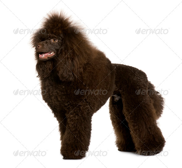 Royal Poodle, 11 months old, standing in front of white background - Stock Photo - Images