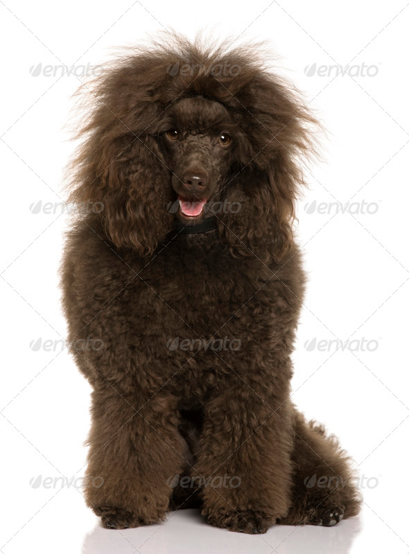 Royal Poodle, 2 years old, sitting in front of white background - Stock Photo - Images