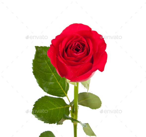 One red rose - Stock Photo - Images
