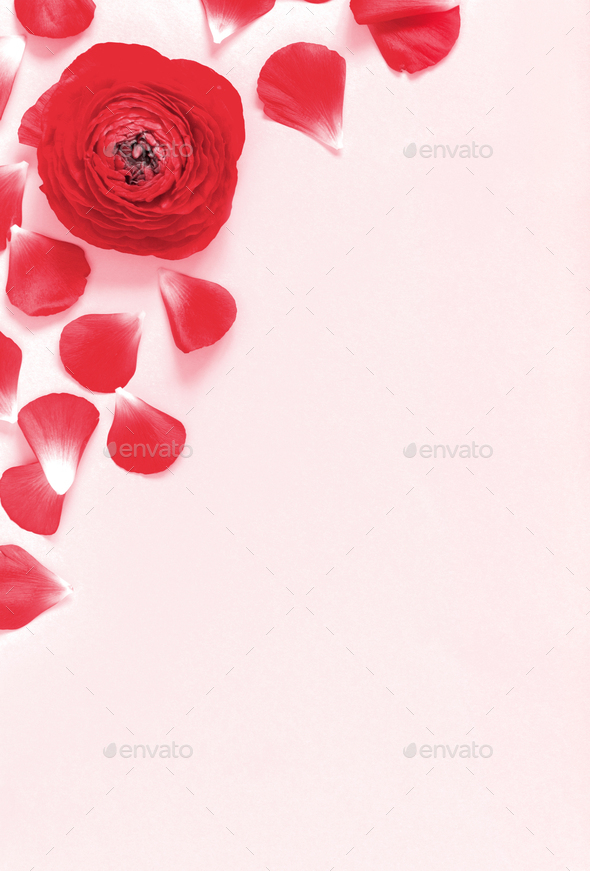 Red flowers and petals on a light pink background - Stock Photo - Images