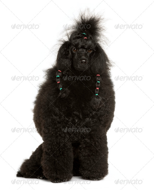 Royal Poodle, 11 months old, sitting in front of white background - Stock Photo - Images