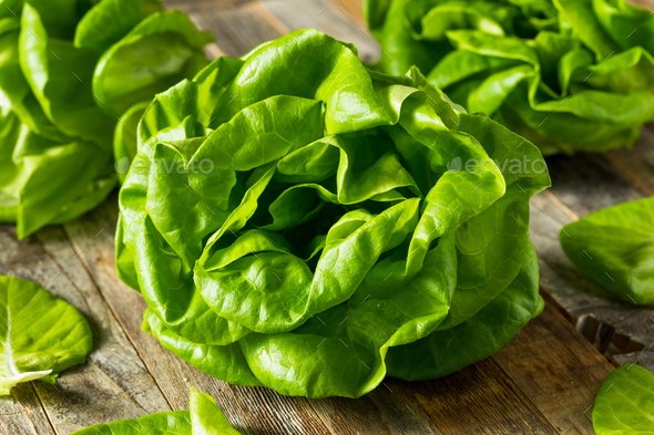 Raw Green Organic Butter Lettuce - Stock Photo - Images