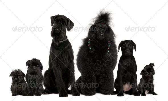 Group of dogs, Poodle, pug, griffon Bruxellois and a mixed breed in front of white background - Stock Photo - Images