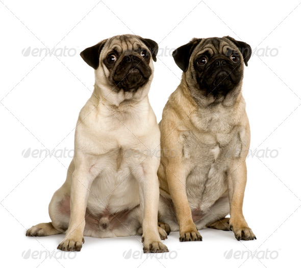 Two young pugs, 6 months old, sitting in front of white background - Stock Photo - Images