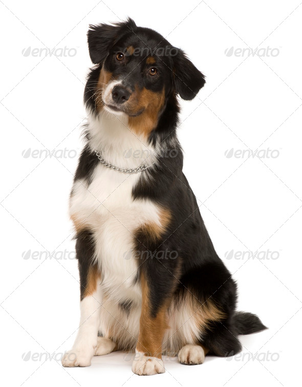 Australian Shepherd puppy, 7 months old, sitting in front of white background - Stock Photo - Images
