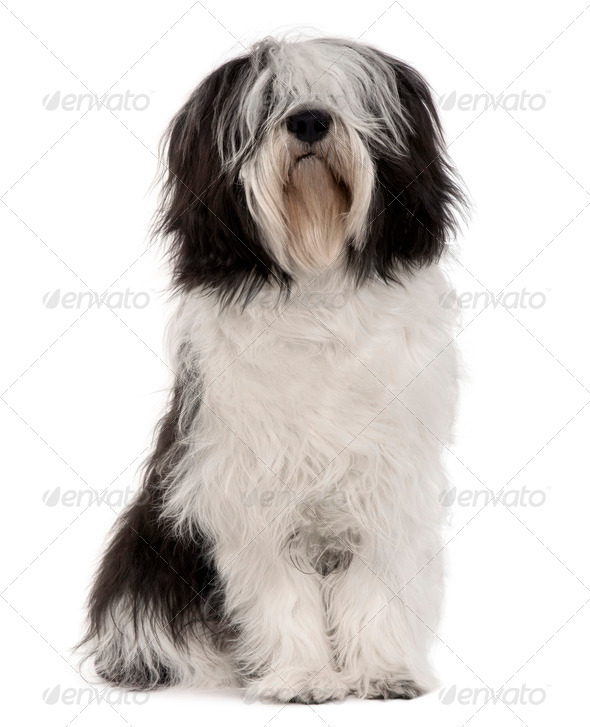 Polish Lowland Sheepdog, 10 months old, sitting in front of white background - Stock Photo - Images