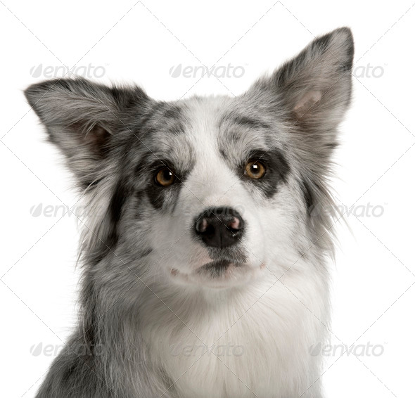 Border Collie, 1 year old, in front of white background - Stock Photo - Images