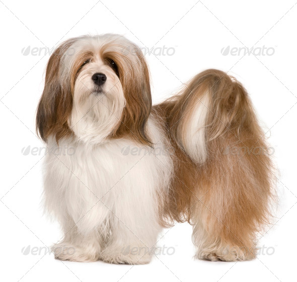Lhasa apso, 1 year old, standing in front of white background - Stock Photo - Images