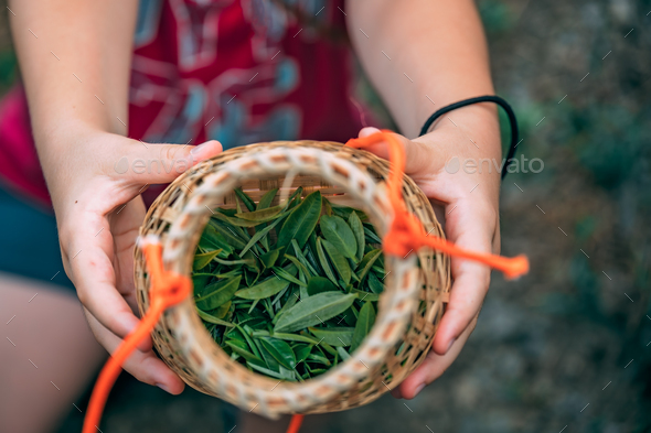 Woman hands holding freshly collected green tea leaves - Stock Photo - Images
