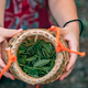 Woman hands holding freshly collected green tea leaves - PhotoDune Item for Sale