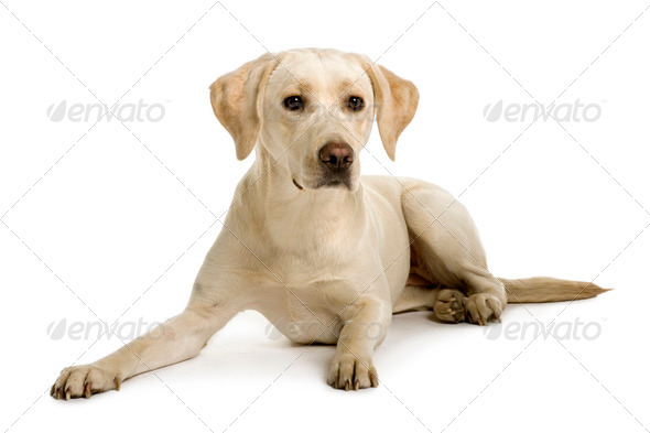 Labrador, 2 years old, sitting in front of white background - Stock Photo - Images