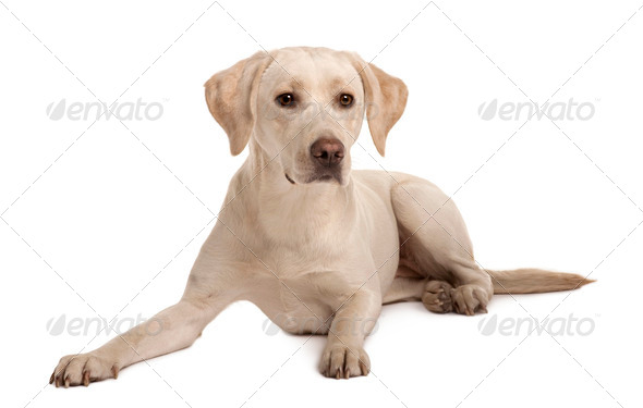 Young Labrador sitting in front of white background - Stock Photo - Images