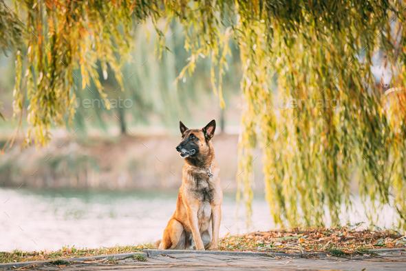 Malinois Dog Sitting Near Lake Under Tree Branches - Stock Photo - Images