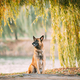 Malinois Dog Sitting Near Lake Under Tree Branches - PhotoDune Item for Sale