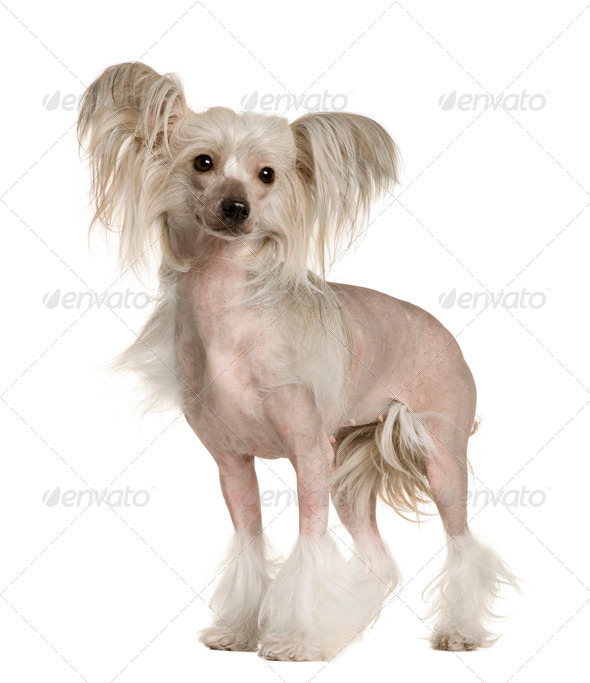 Chinese Crested Dog, 2 years old, standing in front of white background - Stock Photo - Images