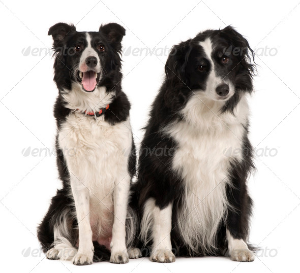 Two Border Collie, 9 years old, sitting in front of white background - Stock Photo - Images