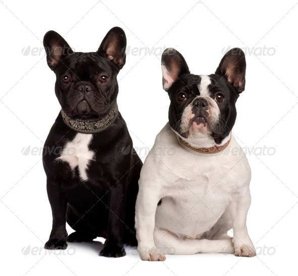 Two French Bulldogs, 2 years old and 11 months old, sitting in front of white background - Stock Photo - Images