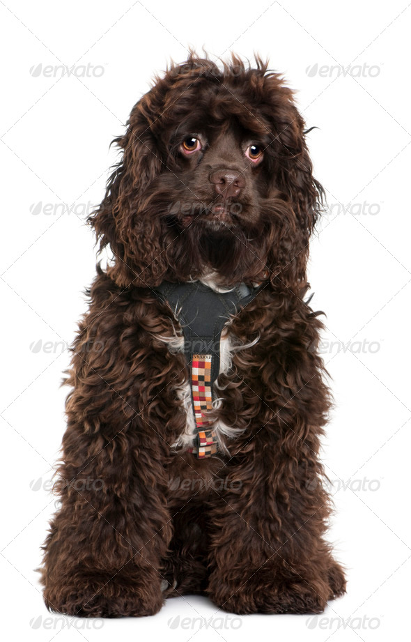 American cocker spaniel, 7 months old, wearing leash in front of white background - Stock Photo - Images