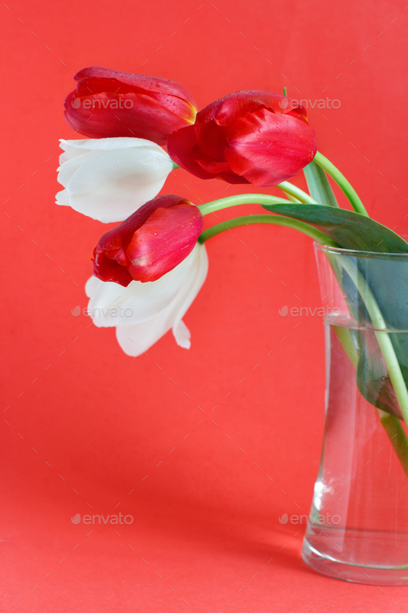 White and red Tulips on a red background - Stock Photo - Images