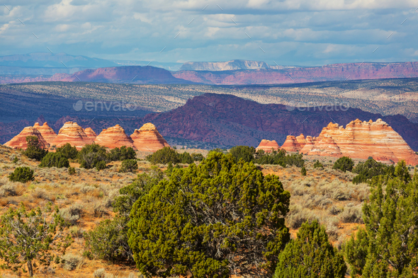 South coyote - Stock Photo - Images