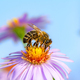 Bee Collecting Nectar on a Aster Flower - PhotoDune Item for Sale