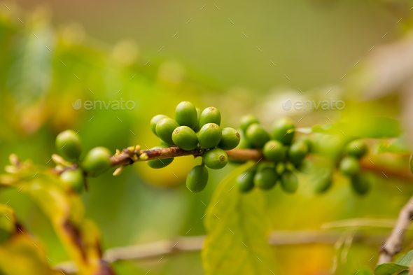 Twig Of Fresh Coffee Fruits Growing In Farm - Stock Photo - Images