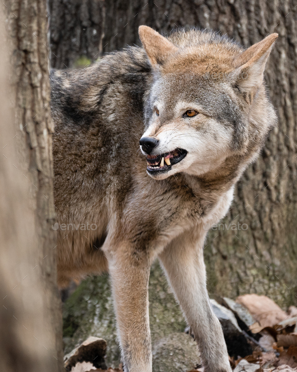 Red Wolf Snarling - Stock Photo - Images