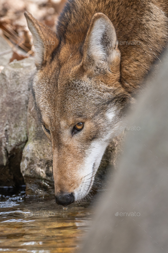 Red Wolf Drinking from a Stream - Stock Photo - Images