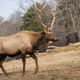 Rocky Mountain Bull Elk - PhotoDune Item for Sale