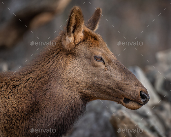 Rocky Mountain Elk Cow - Stock Photo - Images
