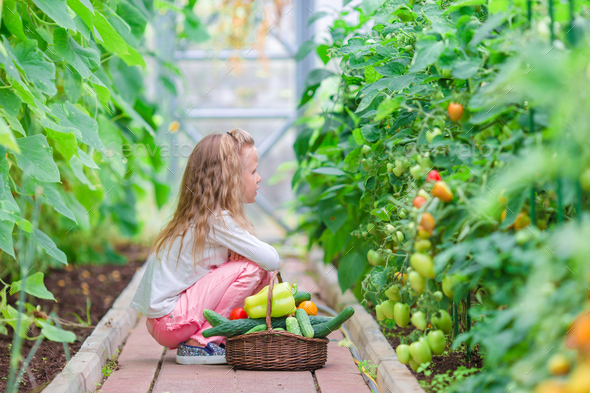Little girl collecting crop cucumbers and tomatos in greenhouse. Time to harvest - Stock Photo - Images