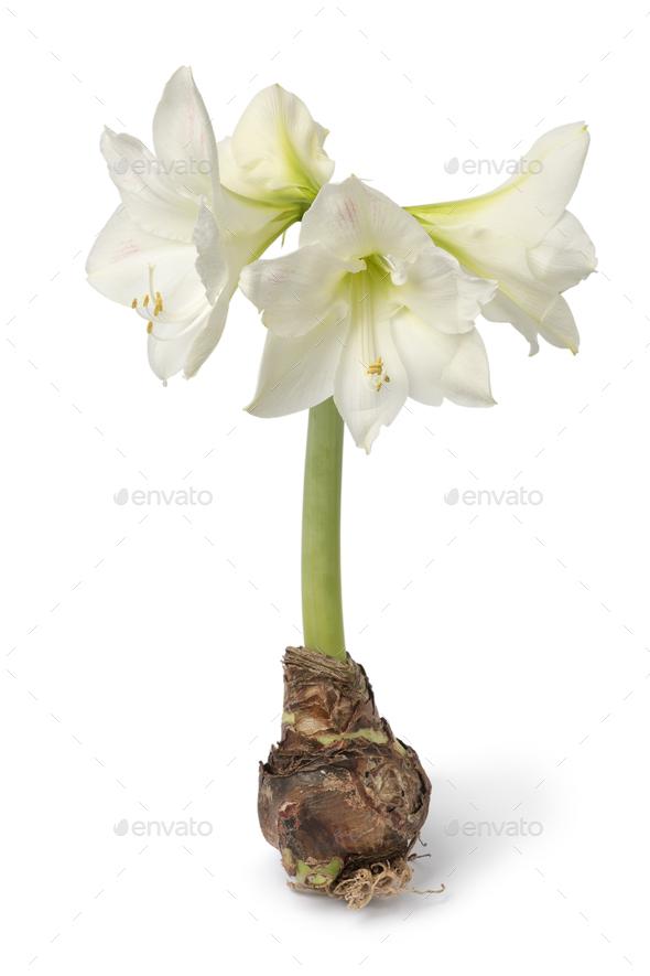 Large amaryllis bulb with white flowers - Stock Photo - Images