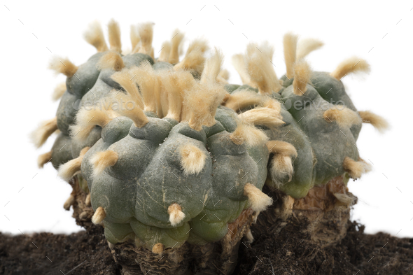 Old, rare and big three headed lophophora williamsii, Peyote - Stock Photo - Images