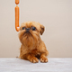 Brussels Griffon puppy and sausages - PhotoDune Item for Sale