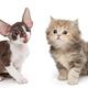 Kittens breed British and Cornish Rex - PhotoDune Item for Sale