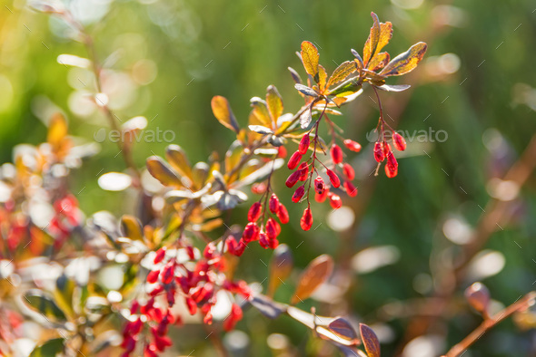 Barberry or Berberis vulgaris branch with berries on sunny day - Stock Photo - Images