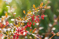 Barberry or Berberis vulgaris branch with berries on sunny day - PhotoDune Item for Sale