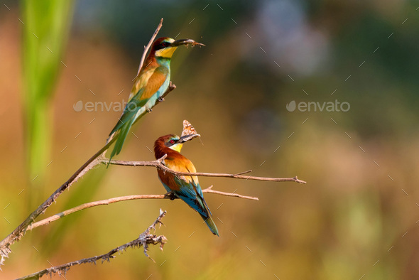 Several Kingfisher birds or Alcedo atthis perch on branch with insects in beaks - Stock Photo - Images