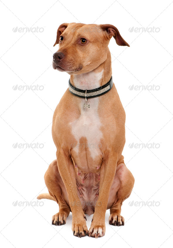 American Pit Bull Terrier, 4 years old, sitting in front of white background - Stock Photo - Images