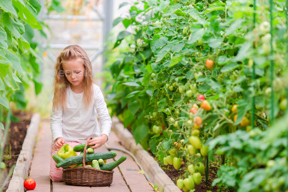 Little girl in greenhouse with basket full of harvest. Time to harvest. Big basket full of - Stock Photo - Images