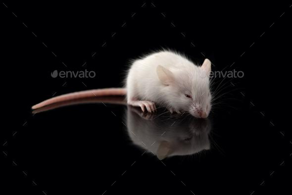 White rat isolated on black background. Symbol of new year 2020 - Stock Photo - Images